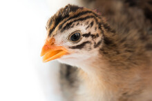 A Portrait Of A French Pearl Guinea Fowl Baby, Keet, With White Background.