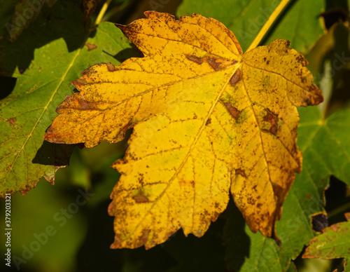 żółty jesienny liść - fototapety na wymiar