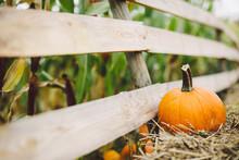 Pumpkins Lying On Hay On The F...