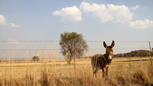 Donkey Grazing In A Winter Field. Parys, Free State, South Africa. There Were Two Separate Species Of The African Ass: The Nubian Wild Ass And The Somali Wild Ass.