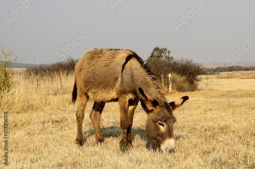 Canvas Print Donkey grazing in a winter field