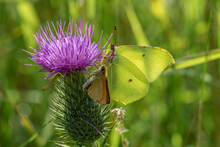 Close Up Of A Brimstone Butter...