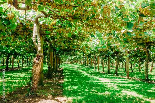 Photo Kiwifruit farm