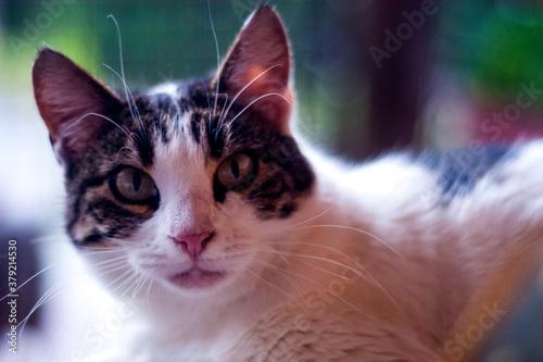 Una bellissima gatta adulta in posa. Wallpaper Mural