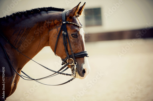 Fototapeta Portrait sports red stallion with a white groove on his forehead in the double bridle. obraz
