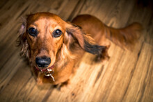 Portrait Of Mini Long-Haired Dachshund