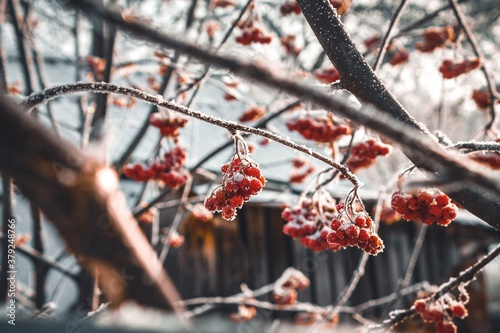 Photo red berries in snow