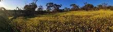 Masses Of Yellow Everlasting W...