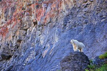 Mountain Goat (oreamnos Americanus) White, Furry On The Mount Timpanogos Hiking Backpacking Timpooneke Trail In Uinta Wasatch Cache National Forest, Utah Lake, By Salt Lake, Rocky Mountains In Utah Co