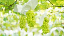 収穫間近のシャインマスカット(2020年産・山梨県)