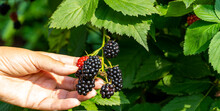 Banner With A Female Hand Supporting A Brush Of Ripening Blackberries On A Green Bush Background