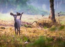 2 Curious Little Deer Fawns St...