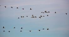 Common Cranes Flying To Breedi...