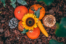 Thanksgiving Background.  Pumpkin. Sunflower. Corn. Pinecone. Group Of Pumpkins Outside.  Autumn Decoration