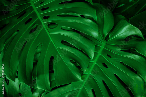 closeup nature view of green monstera leaf background. Flat lay, dark nature concept, tropical leaf #379309106