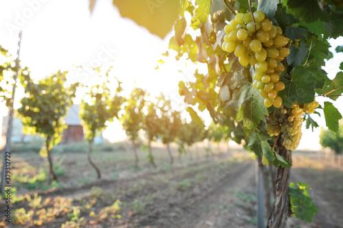 Fototapeta Bunch of ripe juicy grapes on branch in vineyard obraz