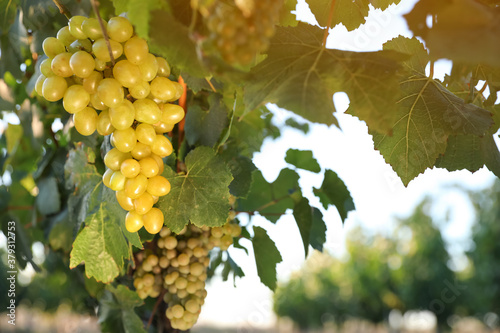 Fototapeta Bunch of ripe juicy grapes on branch in vineyard, closeup obraz