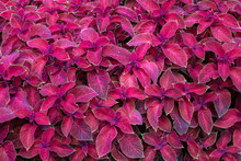Natural Background Of Maroon Leaves Of The Coleus Plant