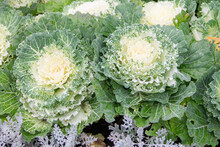 Decorative Cabbage Flowers In ...