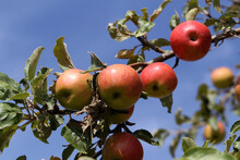 Red Apples Ripen On Tree Branc...