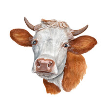 Watercolor Illustration Of A Funny Cow. Hand Made Character. Portrait Cute Ox Isolated On White Background. Watercolor Hand-drawn Illustration.