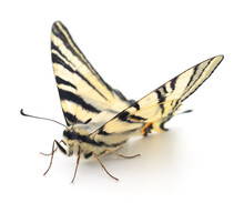 Swallowtail (Papilio Machaon) ...