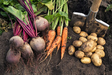 Autumn Harvest Of Fresh Raw Carrot, Beetroot And Potatoes On Soil In Garden. Harvesting Organic Vegetables