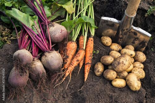 Fototapeta Autumn harvest of fresh raw carrot, beetroot and potatoes on soil in garden. Harvesting organic vegetables obraz