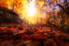 Image Of Colorful Leaves Falling Down From Tree Branches In Autumn. (Yedigöller). Yedigoller National Park, Bolu, Istanbul. Turkey.