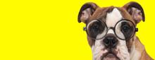 Suspicious English Bulldog Dog...