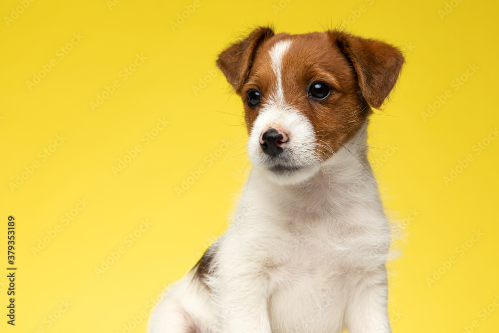 Confident Jack Russell Terrier looking away while sitting