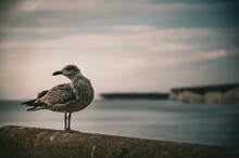 Baby Seagull Standing On Edge ...
