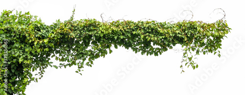 green ivy plant isolate on white background Canvas