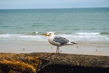 Seagull On Bridlington North Bay Sea Wall