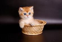 Little Kitten British Golden C...