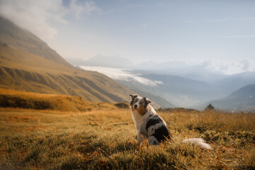 dog in the mountains. marbled Australian shepherd in nature.