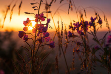 Fireweed Flowers In The Mornin...