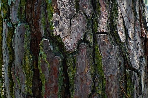 Cuadros en Lienzo 接写すると、より味わい深い、成長した松の樹皮。