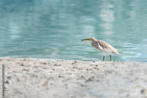 Heron in non breeding season plumage..Close up of pond heron catching shrimp with thick beak  at Phuket seashore ,side view. #379399309