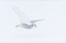 Snowy Owl In White Winter Landscape