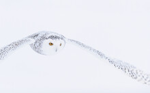 Snowy Owl In White Winter Land...