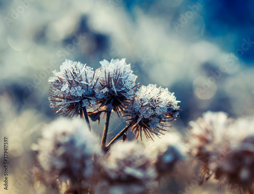 Fototapeta prickly grass thistles covered with transparent shiny frost crystals in the morn