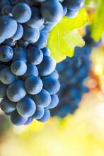 Single Bunch Of Croatina Grape...