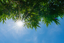 Natural Background Of Green Bamboo Leaves With Sunshine In Blue Sky