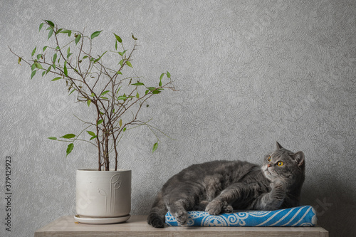 Fotografía British shorthair tabby cat lies on a blanket next to a house plant
