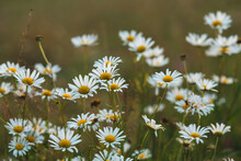 Daisies On The Hillside Before...