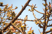 Common_bulbul, Pycnonotus Barbatus, Perched On A Ficus Tree Branch With Plenty Of Fig Fruits