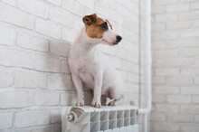Dog Jack Russell Terrier Sits ...