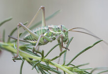 Steropleurus Species Saddle Bush-cricket Nymph Of This Peculiar Insect Of The Mimetic Green Grasshopper Family Perched On Artemisia In Unfocused Green Background