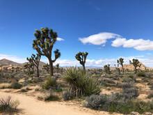 Joshua Trees In Desert Landsca...